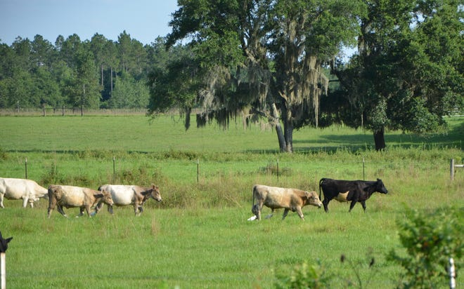 Cattle egrets are often seen around grazing livestock. These brood cows accept the egret's close proximity, likely knowing their feathered friends feast on many irritating insects which trouble all foraging animals.