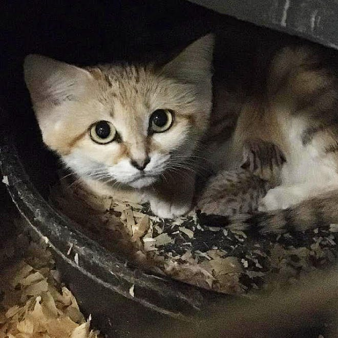 A sand cat kitten was born Aug. 10 at the N.C. Zoo.