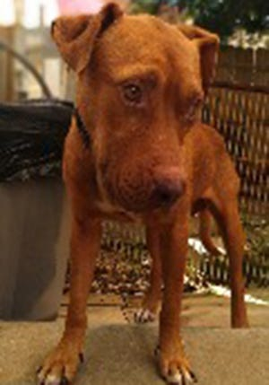 Marlin, a young male Labrador Retriever and hound mix, is available for adoption from SAFE Pet Rescue of Northeast Florida. Call 904-325-0196. Vaccinations are up to date.
