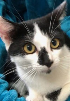 Mia, a baby female domestic short hair, is available for adoption from Wags & Whiskers Pet Rescue. Routine shots are up to date. For information, call 904-797-6039 or go to wwpetrescue.org to see more pets.