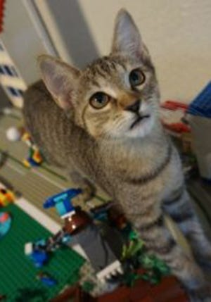 Mossie, a baby female domestic short hair, is available for adoption from Wags & Whiskers Pet Rescue. Routine shots are up to date. For information, call 904-797-6039 or go to wwpetrescue.org to see more pets.