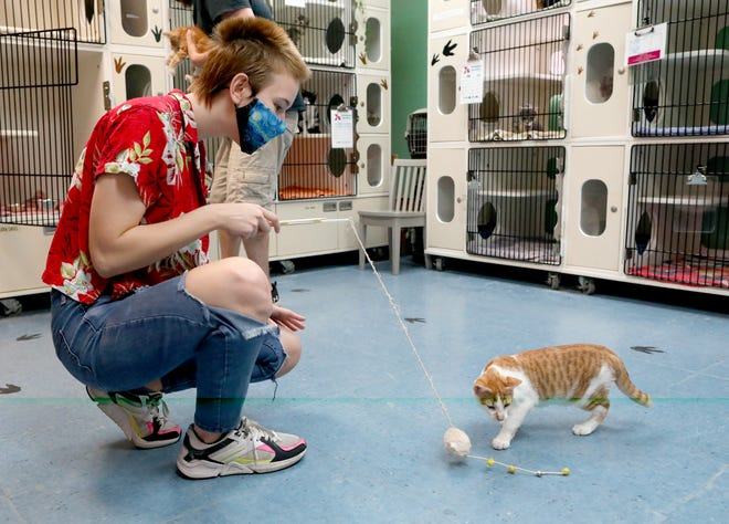 Ahnika Gee use a toy to play with a kitten names Naruto in a private adoption room at the Alachua County Humane Society in Gainesville on Thursday.