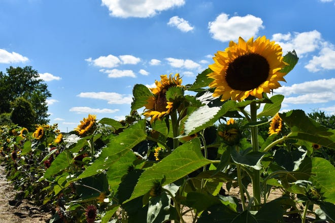 Sunflowers stand tall against a clouded sky at The Cut Flower Farm. The farm sells red, double and standard varieties of sunflowers.