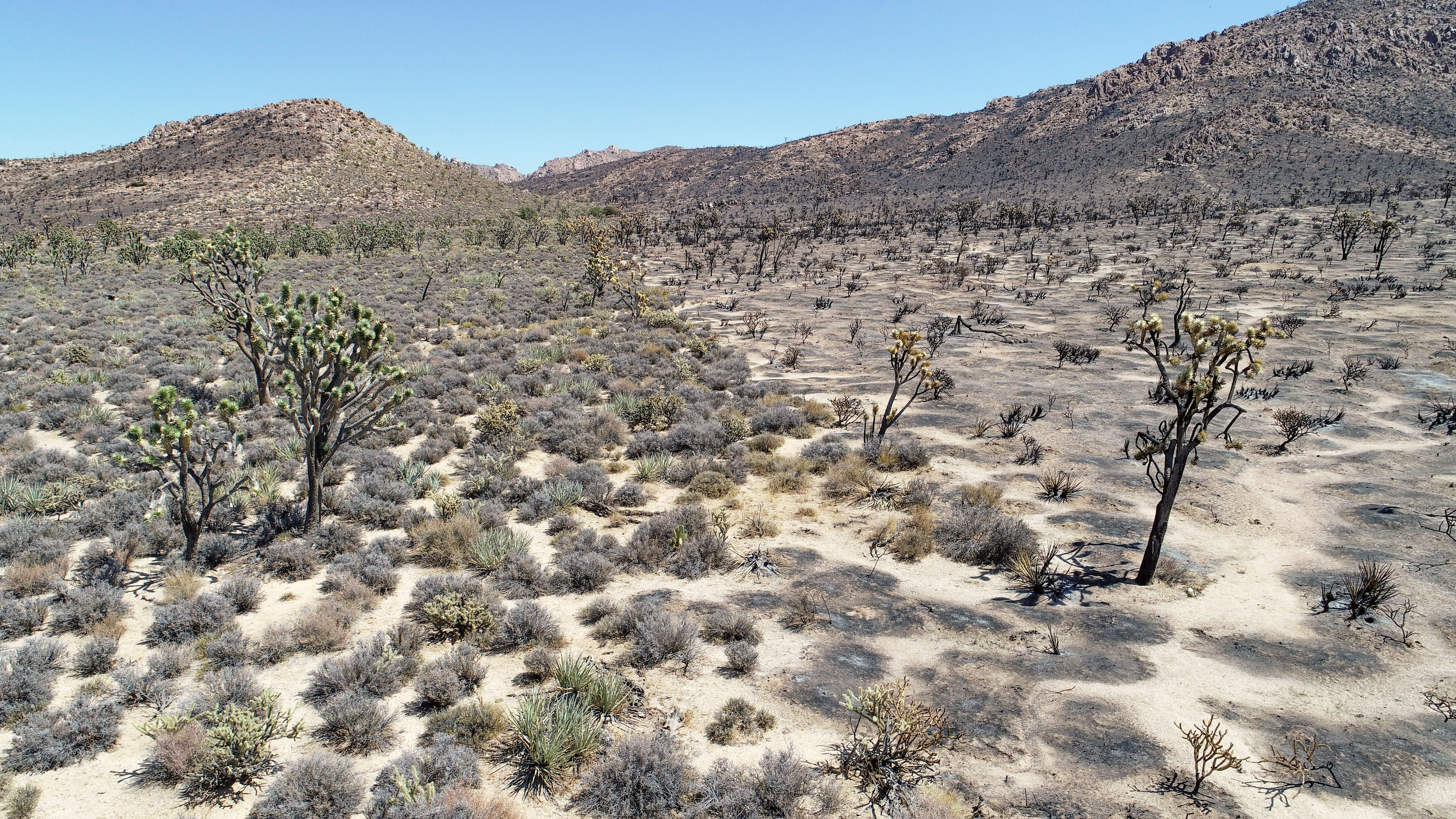 Plant life that burned in the Dome Fire, right, contrasts with an adjacent area that did not burn in the remote Mojave Desert near Cima, California, September 2, 2020.