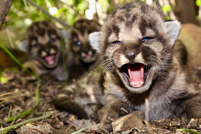 This May 2020 photo provided by the National Park Service shows a den of mountain lion kittens found in the Santa Monica Mountains. A boom in mountain lion births has occurred there this summer, and in Simi Hills west of Los Angeles.