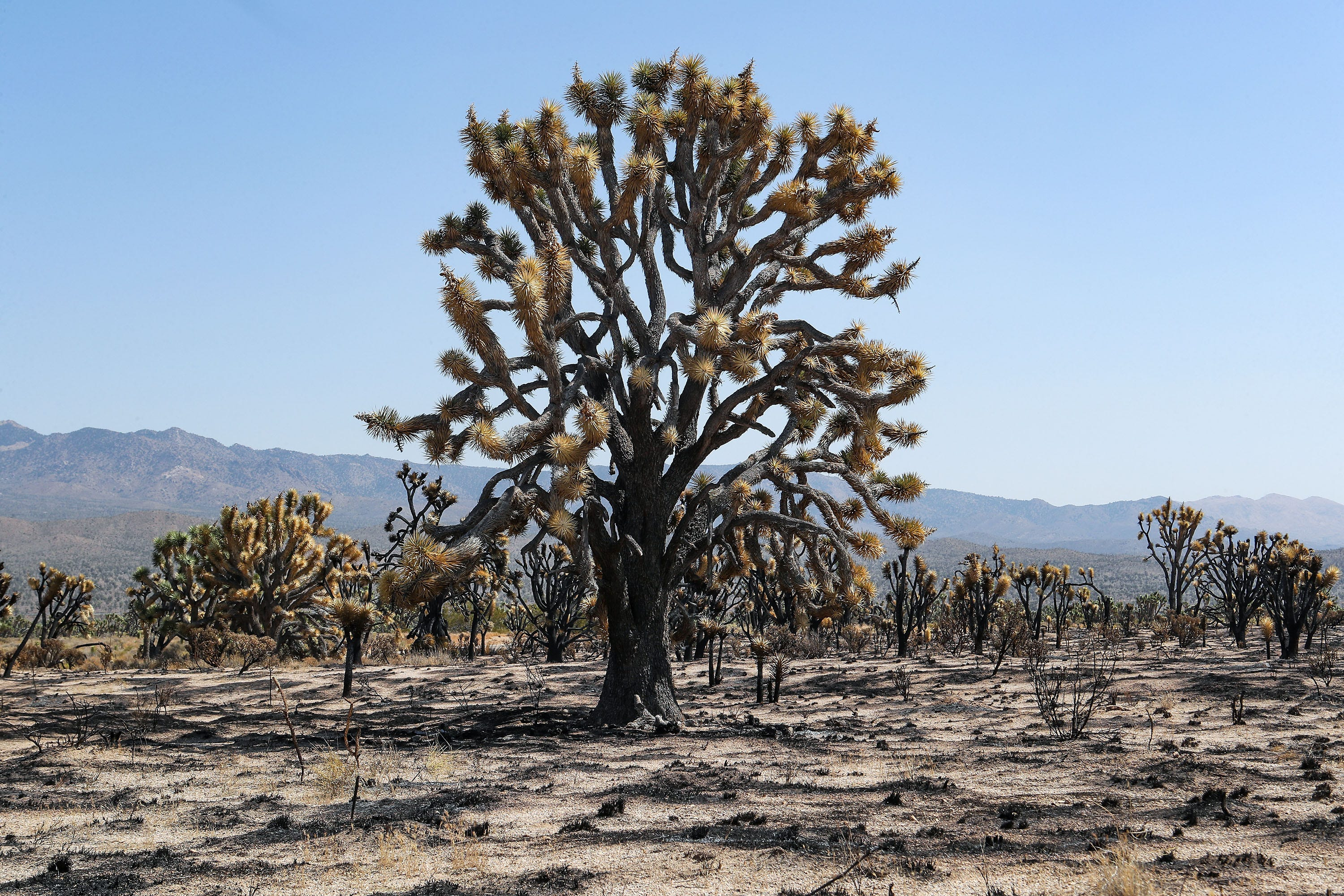 A large eastern Joshua tree was burned in the Dome Fire in the Mojave National Preserve.