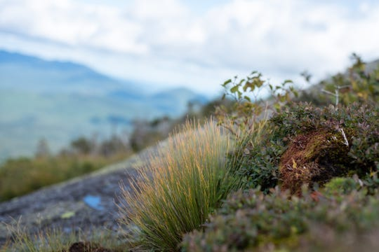 Fragile alpine vegetation grows at the summit of some high Adirondack peaks. Summit stewards work to maintain it and help teach hikers not to step on it when they reach the summit.