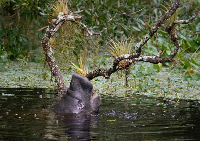 In Volusia and Flagler counties alone, there have been seven manatee deaths — more than double the number of deaths this time last year, when there were three. Of the deaths across the state, at least 134 of them have been unrecovered.