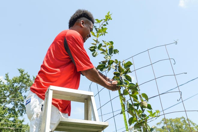 John-John Pegram stands on top of his 10-foot ladder in 2018 while his tomatillo plant was at its highest.