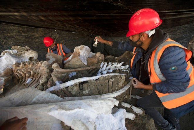 Paleontologists work to preserve the skeleton of a mammoth that was discovered at the construction site of Mexico City's new airport in the Santa Lucia military base, Mexico, Thursday, Sept. 3, 2020. The paleontologists are busy digging up and preserving the skeletons of mammoths, camels, horses, and bison as machinery and workers are busy with the construction of the Felipe Angeles International Airport by order of President Andres Manuel Lopez Obrador.