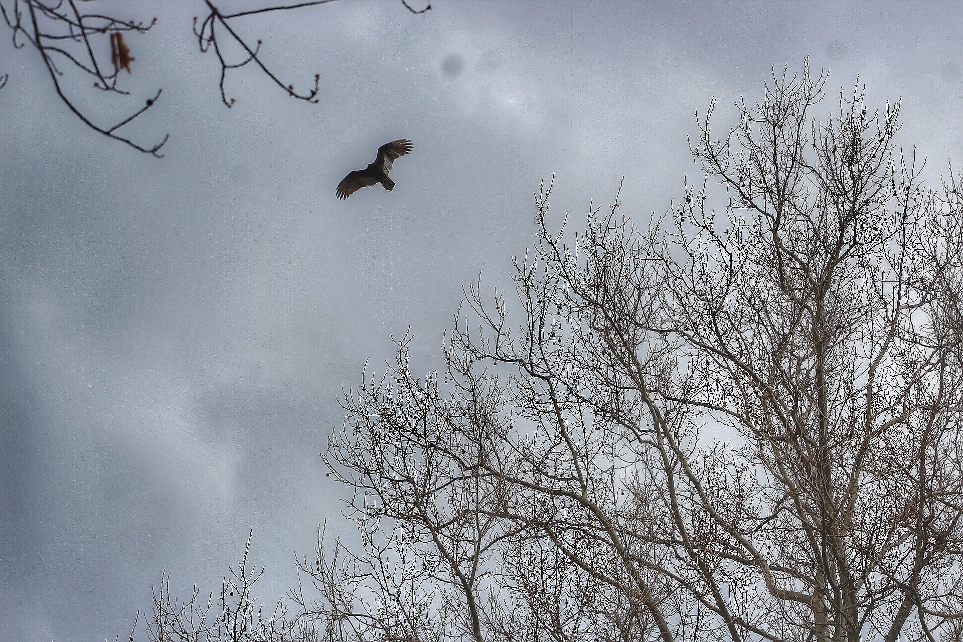 A large bird lies over my home in Detroit on April 15, 2020. It is a rare sighting in my area. Luckily, I happen to be in the right place at the right time.