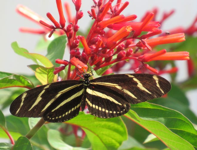A Zebra Longwing butterfly, the official state butterfly of Florida, enjoys a snack from the native Firebush planted in the landscaping of members of The Garden Club at Palm Coast.