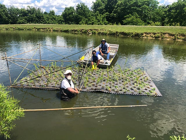 "Great Parks of Hamilton County has installed its first-ever ""floating wetlands"" in a pond at Parky's Farm in Winton Woods."