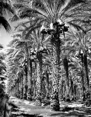 A date grove in Indio.