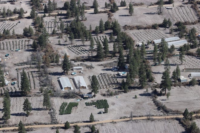 The Siskiyou County Sheriff's Office released this photo showing a marijuana growing site that was raided recently.