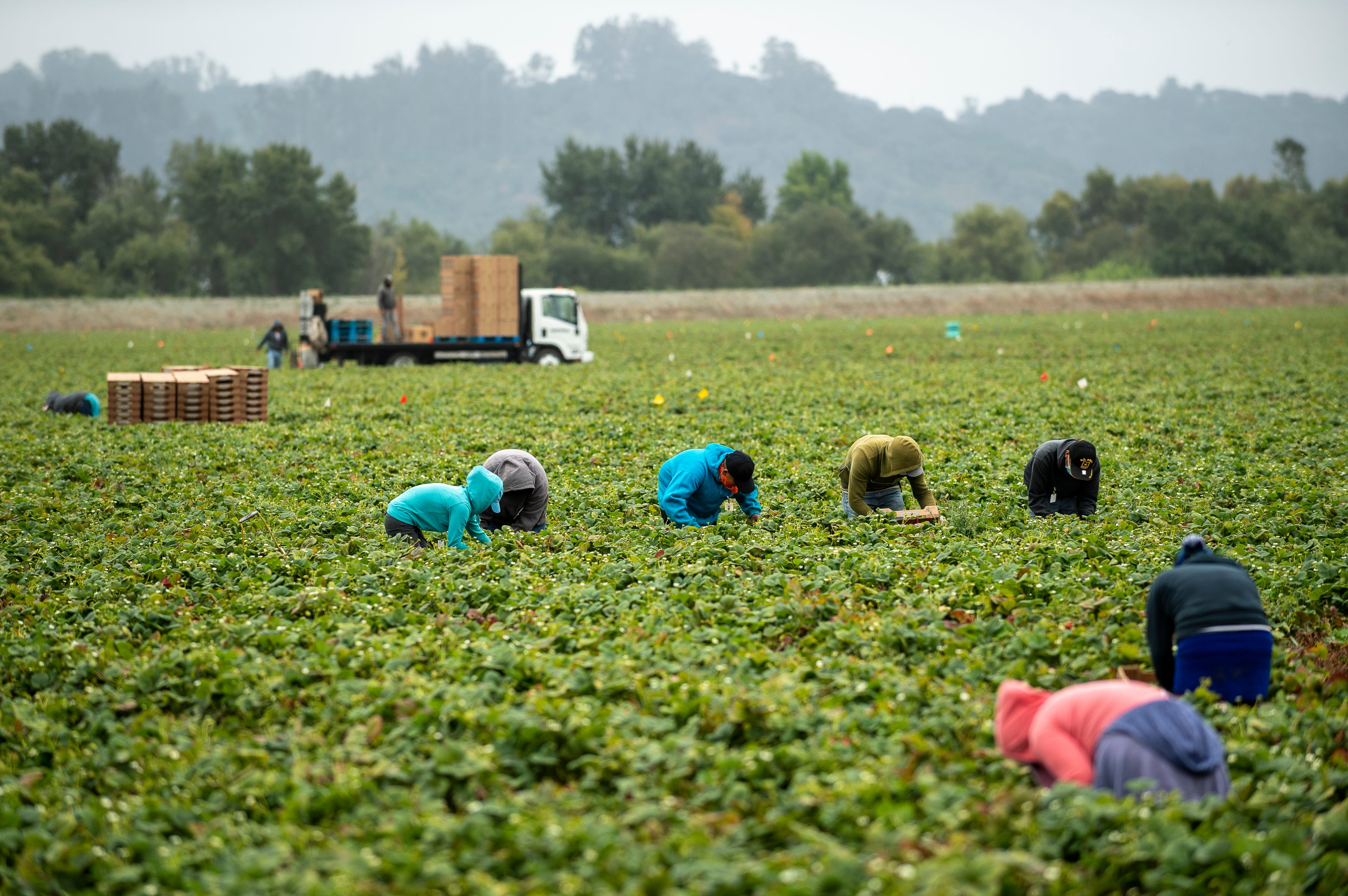 A row of five farmworkers pick strawberries in synchrony  near two others in Watsonville, Calif. All of them are wearing long sleeves to protect their skin from the elements.