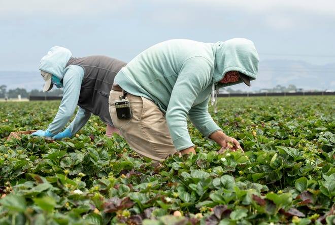 Mario Villasenor, right, bends over to pick strawberries near a fellow farm worker in Watsonville, Calif.
