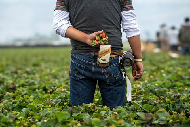 A farmworkers holds a handful of strawberries behind his back as he stops picking for a brief moment to listen to organizers of the Watsonville Campesino Appreciation Caravan discuss COVID-19 safety guidelines in the workplace in Watsonville, Calif.
