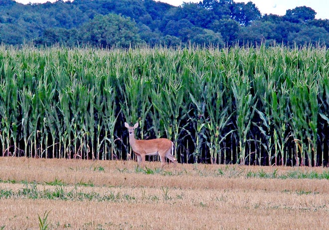 This deer takes time to watch traffic near Smithville before ducking into the corn behind him earlier this summer.