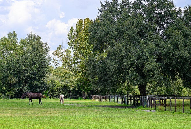 Two horses graze in Chris and Anne Raisner's pasture behind their home in the rural community of Mill Creek Estates south of State Road 16 and west of Pacetti Road on Thursday. [PETER WILLOTT/THE RECORD]