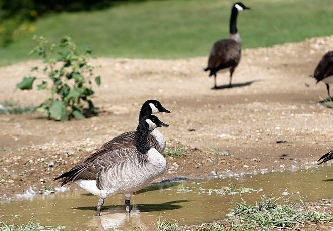 A couple Canada geese hang out in a flooded field, from Monday's heavy rains, at Brookside West on Tuesday.