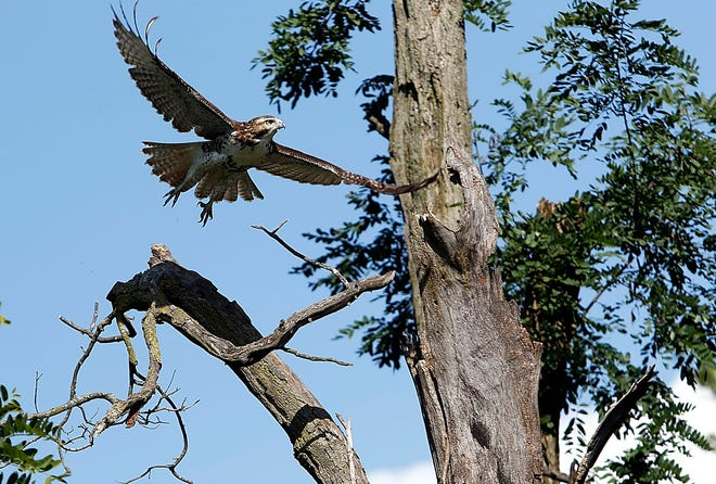 A hawk takes flight from its perch on a dead tree near the pond at Brookside Park on Tuesday.