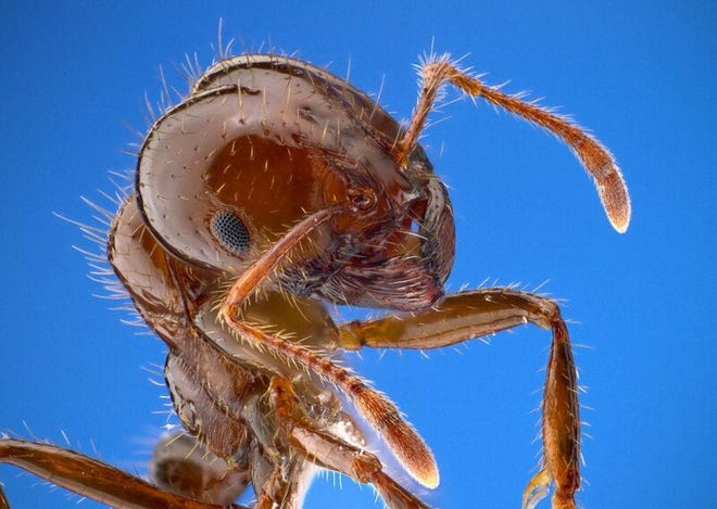 The red imported fire ant was first discovered in North Carolina in the 1950s.