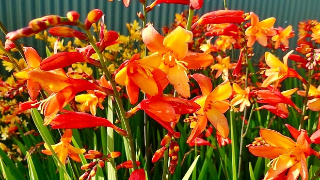 Crocosmias are perennials with a long season of bloom in hot, Sandhills summers.
