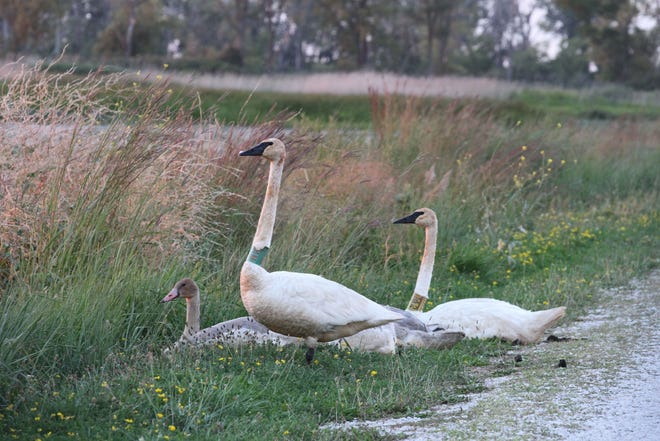 Trumpeter Swans walk a trail at Ottawa National Wildlife Refuge. This mating pair has been banded for identification. Trumpeter Swans faced near extinction in the early 20th century, but their population has rebounded.