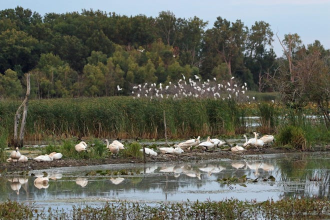 Trumpeter Swans rest in a marshy area as a flock of great egerts perches in distant trees. Ottawa National Wildlife Refuge was busy with vehicle and foot traffic on a beautiful Labor Day weekend.