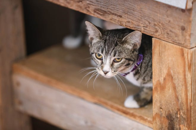 Cats wait to be adopted at The Cat's Meow Adoption Center in Las Cruces on Tuesday, Sept. 8, 2020.