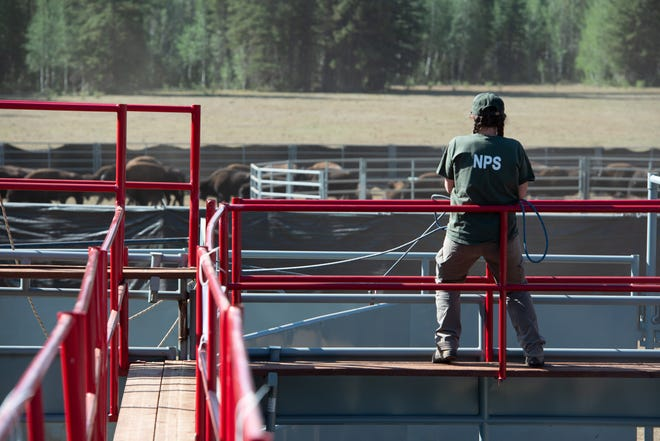 National Park Service wildlife biologist overlooks the bison corralling operation in September, 2020.