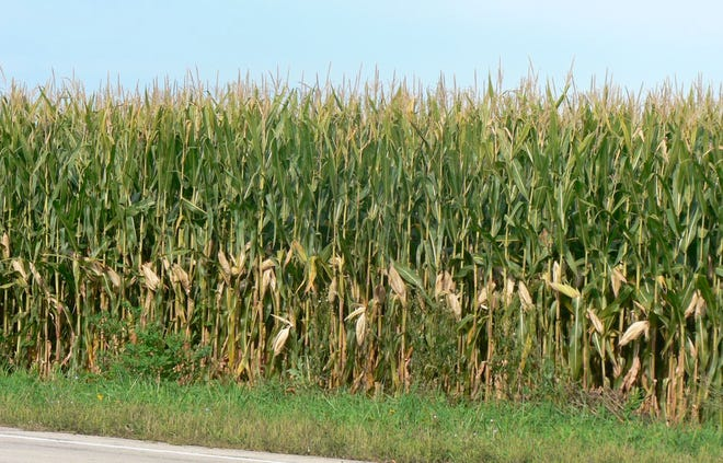 The corn fields with their maturing ears tell us harvest time is nearing.