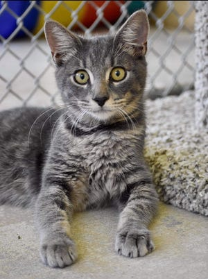 Fall in love with Jude! Jude is a handsome 9-month-old male, silver tabby. He came in with an erupted abscess on his side that we are treating and its healing nicely. He is a friendly boy who does well with other cats. Jude is waiting for his furever family to come and meet him at our shelter!