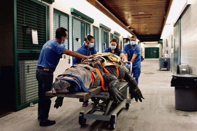An alligator named Bob from the St. Augustine Alligator Farm is treated at the University of Florida.