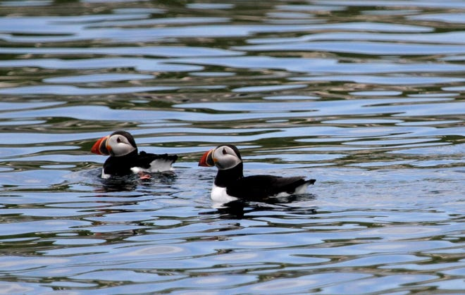 A pair of Atlantic puffins swim off the coast of Maine, the only state in the U.S. where they commonly occur. [Photo by J. D. Willson]