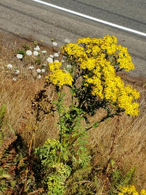 An invasive yellow-flowered plant called tansy ragwort is common along roadsides and in open areas, pushing out native plants.