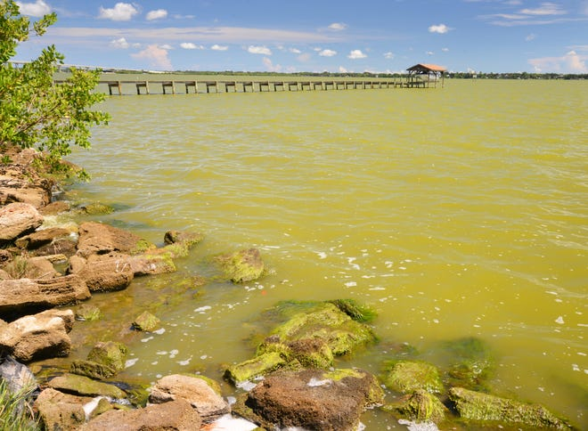 The water along the shore in Cocoa of the Indian River Lagoon  has a green hue to it, caused by an algae bloom that has scientist worried about a repeat of the massive fish kills that happened in 2016..