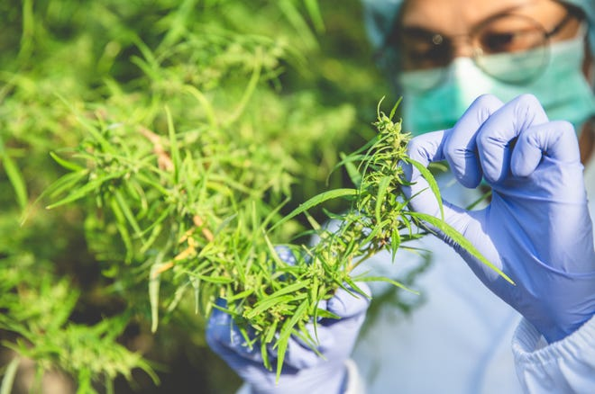 Learn more about the nuances of cannabis strains.