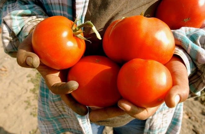 These tomatoes were left in the field at a Thermal farm. Green tomatoes are harvested for transit, while many red ones are left behind.