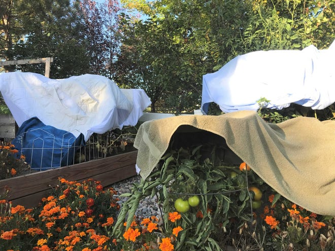 Blankets and towels protect tomatoes from the threat of a frost.