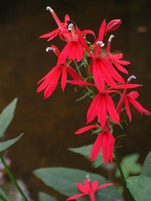 Cardinal flower grows near mountain streams, in the shade, but it also does well in freshwater tidal marshes near the coast.