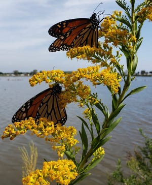 Monarch butterflies foraging on joint goldenrod flowers.