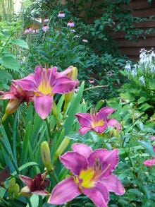 Day lilies have clumping root systems that can be divided by cutting the original crown into pieces with each piece having a few buds and attached roots.