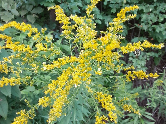 Goldenrod belongs to the sunflower family, has bright yellow flowers that attract bees and butterflies, and depends on them for pollination. [Ray Maxwell]