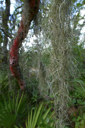 There are many misconceptions about Spanish moss.