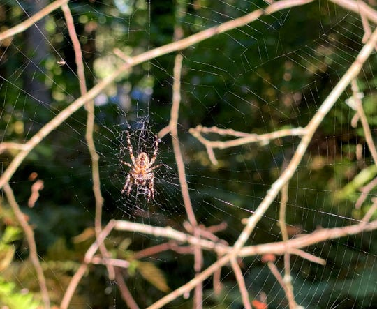 A spider clings to its web along one of the trails of Bainbridge Island Land Trust's Rockaway Bluff Preserve on Thursday, Sept. 10, 2020.