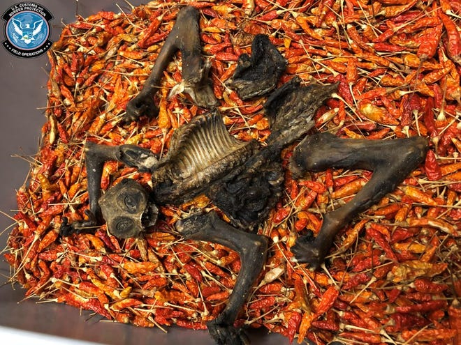 U.S. Customs and Border Protection officers seized these remains, which they believe are from an endangered loris, in Cincinnati during a search of a shipment of dried chili peppers from Thailand.