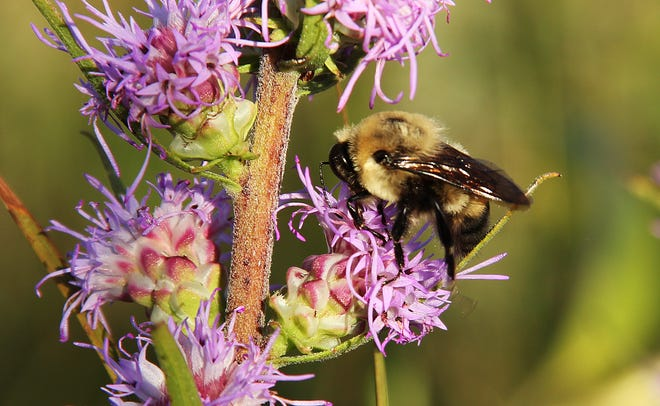 A bumblebee lands on a rough blazing star.