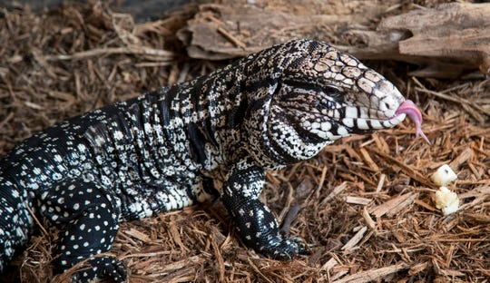 Adam's tegu eats a banana on Wednesday, September 9, 2020. When he rescued the tegu, it was injured, and he nursed it back to health.